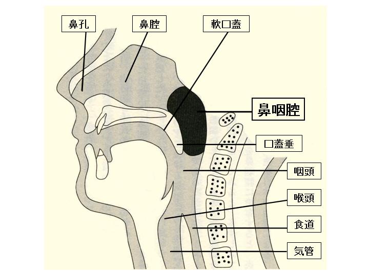イラスト: 鼻咽腔の位置。鼻咽腔とは、鼻腔と咽頭がつながる部分で軟口蓋の裏側のやや広い空間のこと。鼻の穴の奥で、のどちんこの裏側あたり。